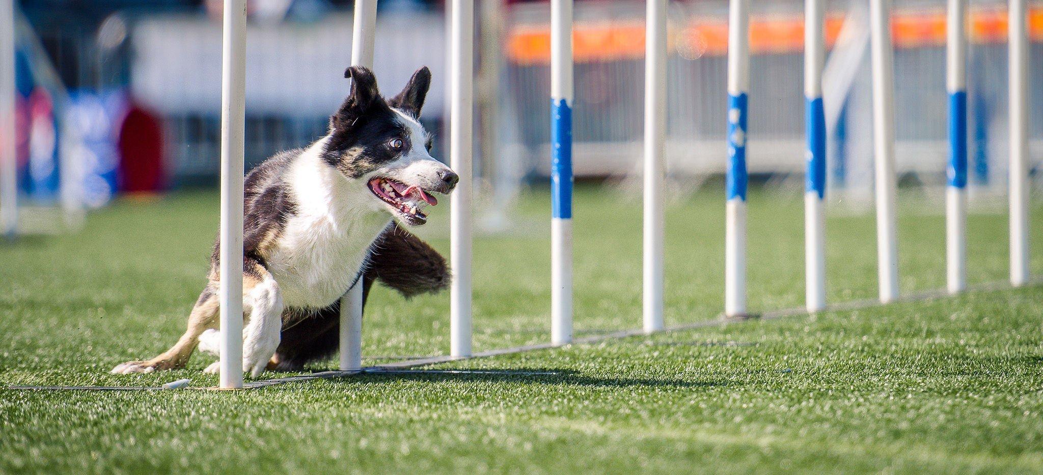 Nutrolin_agility_dog_health